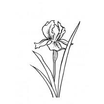 Coloriage Iris